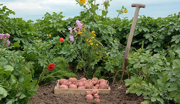 Biologische aardappelen
