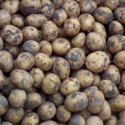 Nieuwe poters aardappelen (Menopper)