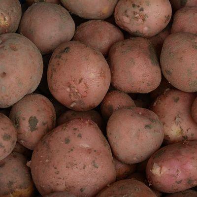 Bildtstar aardappelen