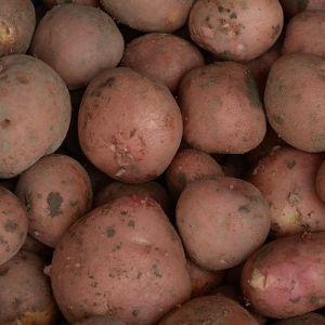 Bildtstar aardappelen oude oogst
