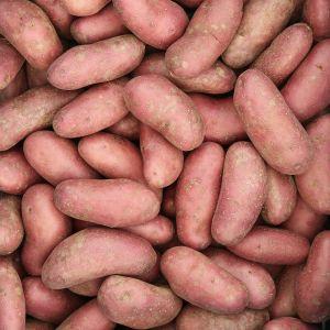 Kleine Roseval aardappelen